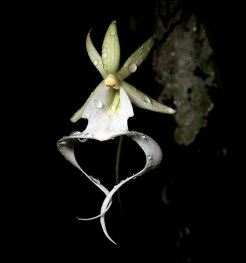 ghost-orchid