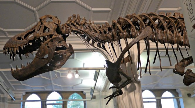university of Manchester museum  T-Rex
