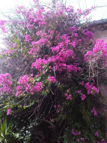 The lush purple Bougainvillea...
