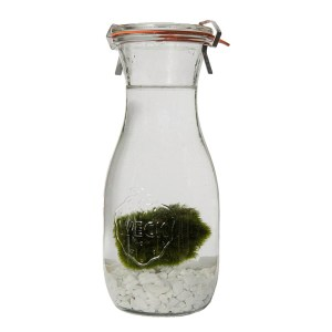 Marimo set in weckpot