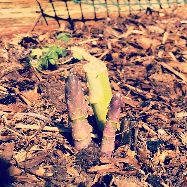 Asparagus, pickle to be #levasfarming #pinole #home #gardening #pickletime