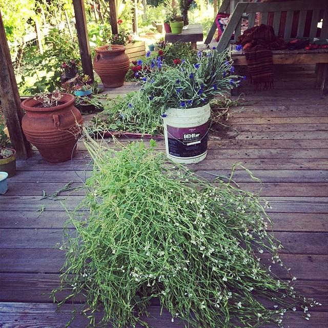 Major garden cleaning #levasfarm #gardening #pinolehome #pinole