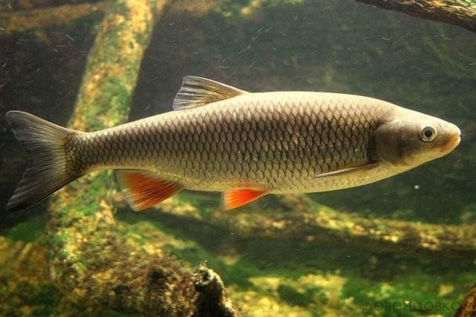 рыбы ростовской области