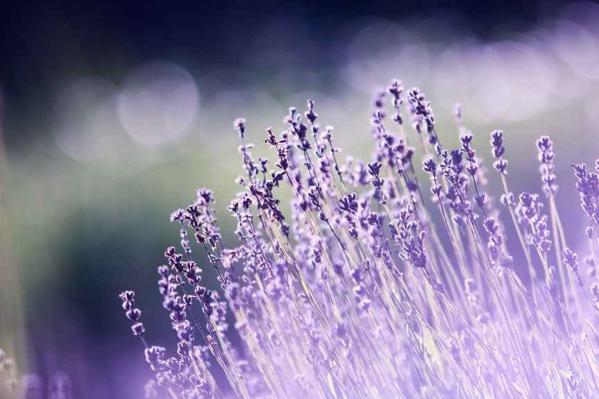 10 Ways to Use Lavender Oil | Leverage Ambition