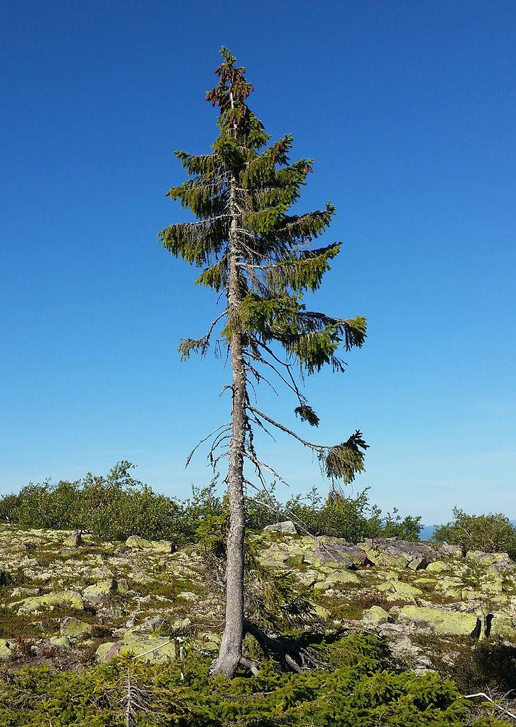 Plus Vieil Arbre Du Monde : vieil, arbre, monde, Vieil, Arbre, Monde
