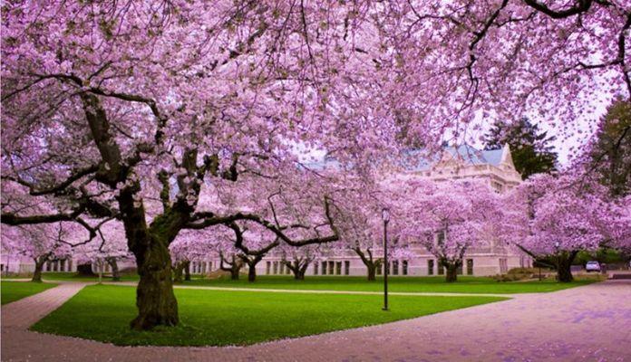 Hanami - contemplarea ciresilor infloriti sakura in Japonia