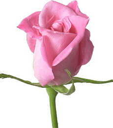 Trandafir-Roz
