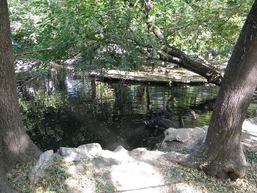 Bucuresti,_Romania,_Parcul_Cismigiu Lacul lebedelor