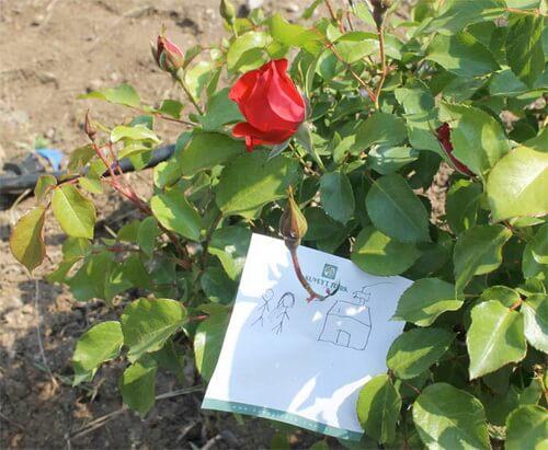 Trandafirul cu dorințe