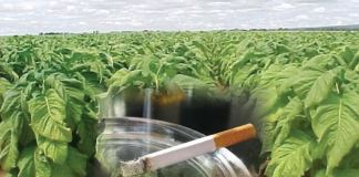 Pușa Roth istoria tutunului leviathan.ro