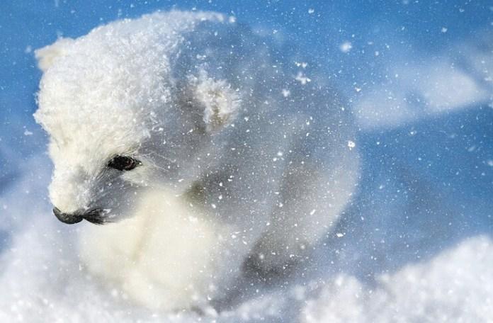 ziua ursului polar