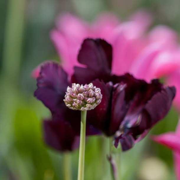 Ljusrosa allium och mörkt purpurröd papegojtulpan, en effektfull kombination!