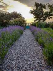 Grusgång omgiven av lavendel i en köksträdgård.