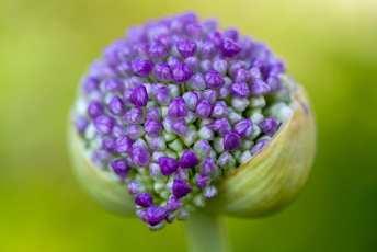 Violett allium