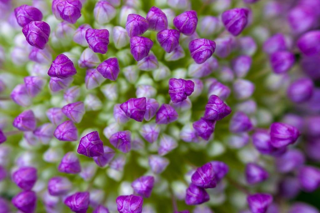 Allium i närbild.