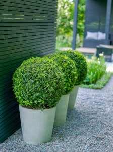 Formklippta buxbomsklot i betongkrukor. Av trädgårdsdesigner Ulrika Levin.