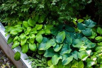 Hosta, en utmärkt växt i skugga.