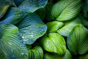 Hosta Blue Umbrella och hosta Gucamole