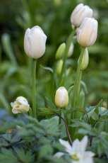 Tulpan i vitt i kombination med höstsilverax.