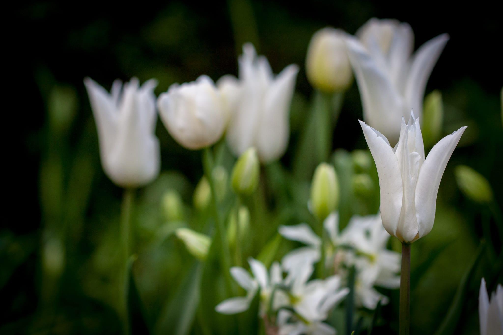 Tulpan Tres Chic, vacker vit liljetulpan.