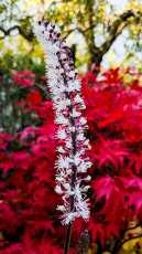 Actaea simplex 'Brunette', med höstfärg i bakgrunden.