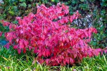 Viburnum plicatum f. tomentosum 'Mariesii' har en underbar höstfärg.
