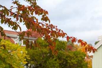 Prunus x yedoensis i härlig höstfärg.