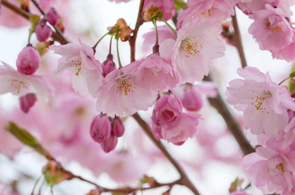 Vårblomning hos Prunus Accolade.