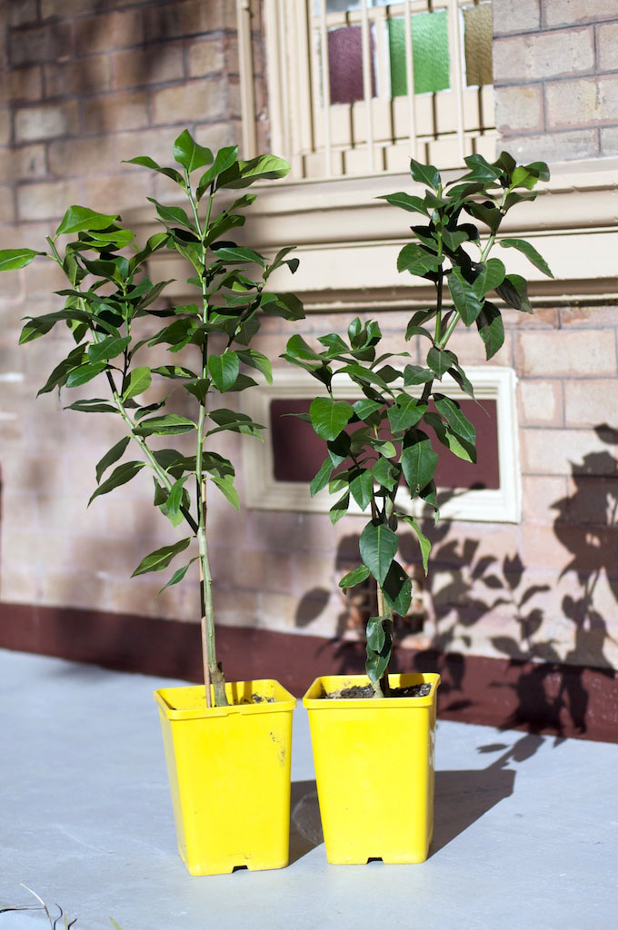 Two dwarf meyer lemons, in excellent shape and ready for the nature strip