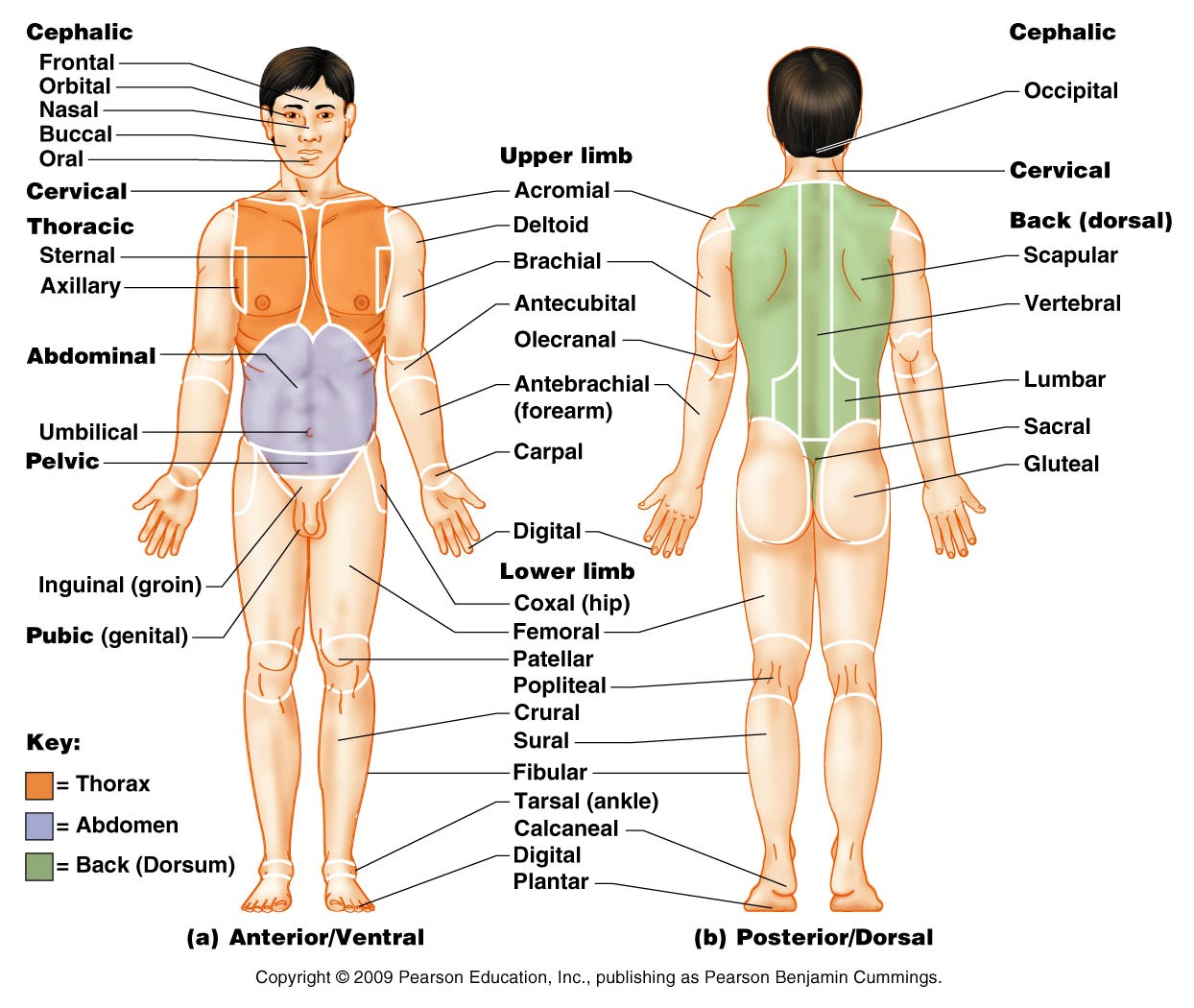 Medical Diagram Of Body Planes Worksheet
