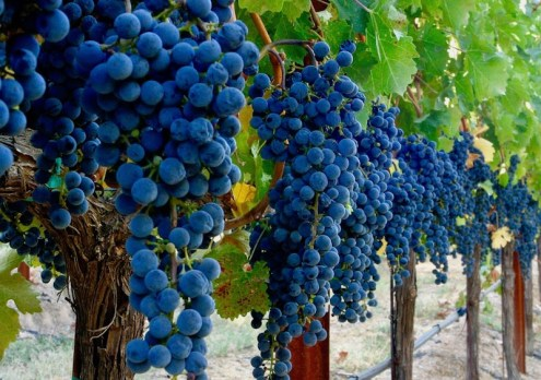 Schramsberg grapes