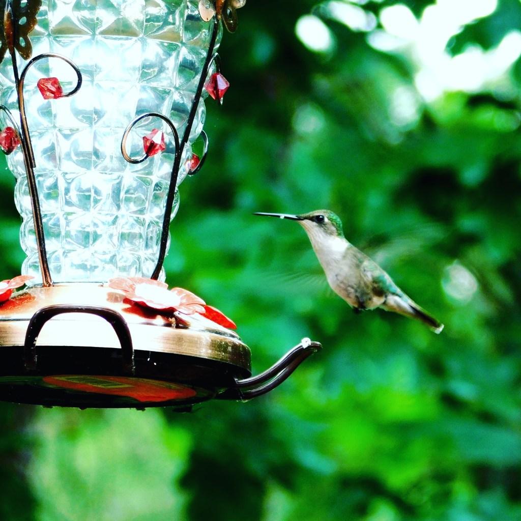 Backyard Birds in South Carolina   Lexington Yankee
