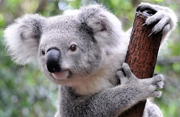 koala cute.jpg