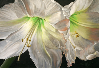 Two amaryllis blossoms