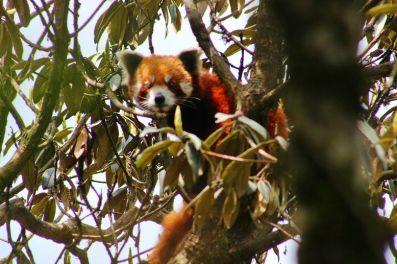 BeFunky_Red-Panda-Nepal.jpg
