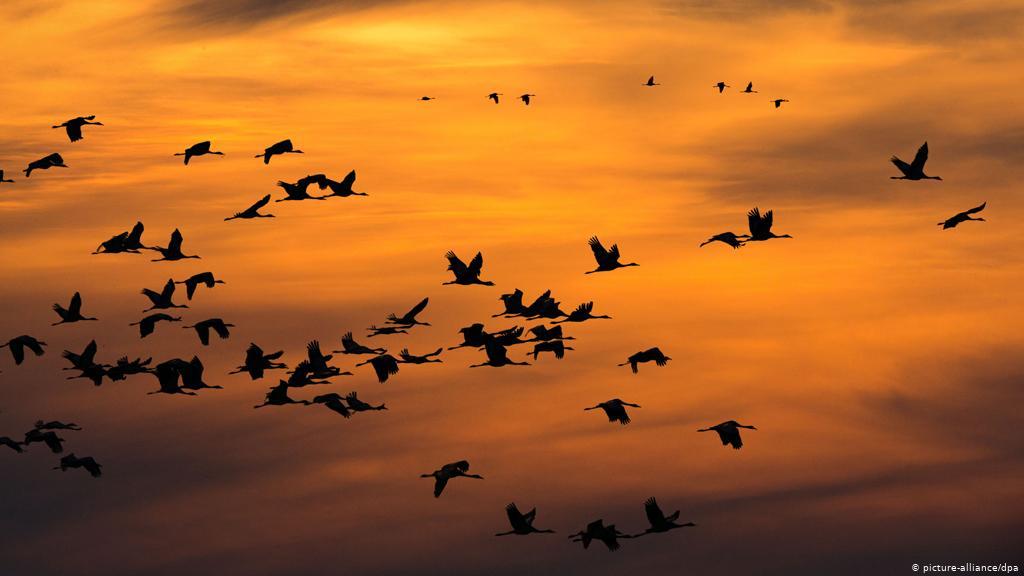 Kuriozitet : Fikja E Dritave Për Disa Netë Gjatë Vitit Mund Të Shpëtojë Miliona Zogj Shtegtarë
