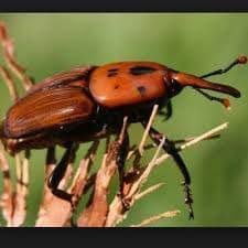 هذه الحشرة قد تقضي على كل أشجار النخيل بتونس الكبرى