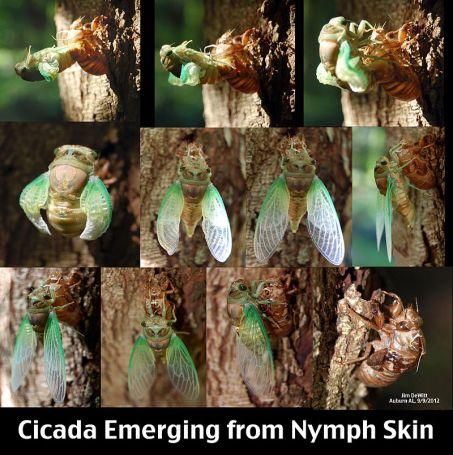 Van pop naar cicade