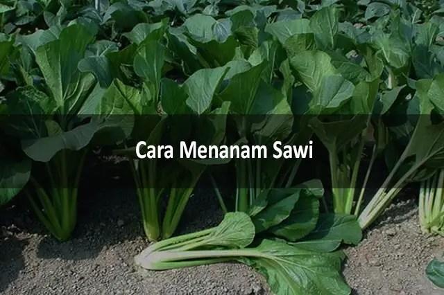 Cara Menanam Sawi