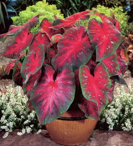 Keladi Red Star (Caladium Bicolor)