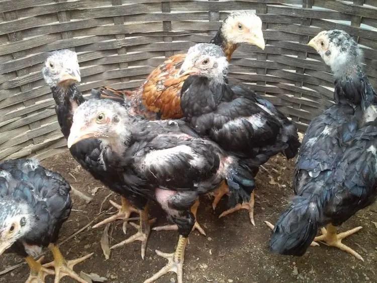 Tahapan Ternak Ayam Bangkok