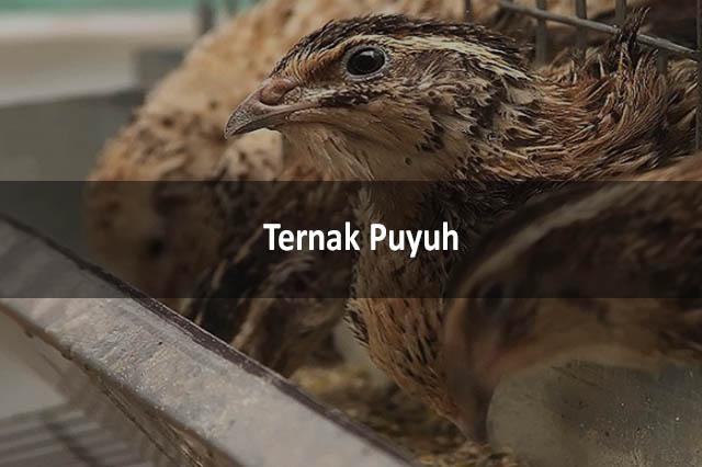 Ternak Puyuh
