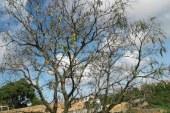 Mal da Seca mata mangueiras em Salvador e Lauro de Freitas