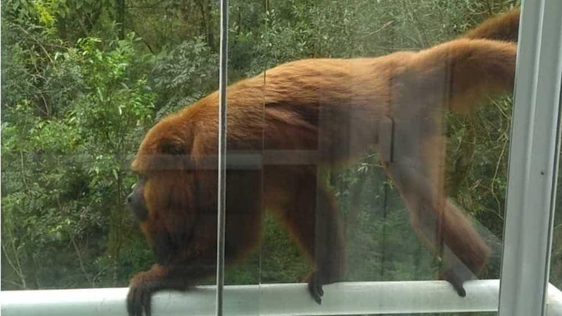 Bebê é atacado dentro de casa por macaco, em Araucária