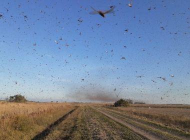 Nuvem de gafanhotos faz Ministério da Agricultura declarar estado de emergência no RS e SC