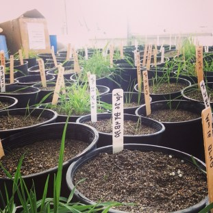 Clipping effects on carbon storage for grassland species