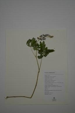 Lupinus nootkatensis (Nootka lupin)