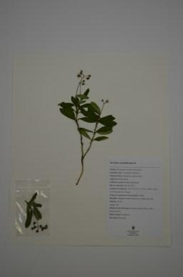 Chimaphila umbellata (Prince's Pine)