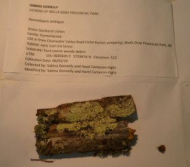 Parmeliopsis ambigua