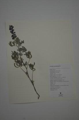 Lupinus sericeus (silky lupin)